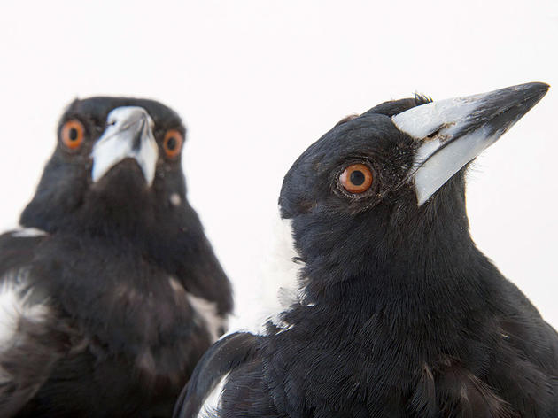 Bird IQ Tests: 8 Ways Researchers Test Bird Intelligence