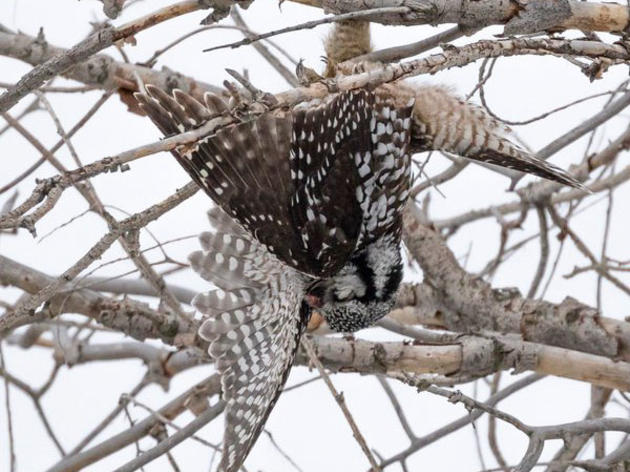 A Rare Owl Turned Up Dead—Are Birders To Blame?